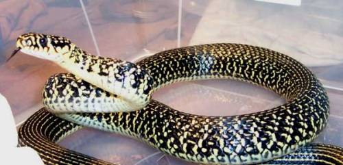 Western-whip-snake..Coluber-viridiflavus..Couleuvre-verte-et-jaune.Preparing-to-strike.France.Roger-Meek.