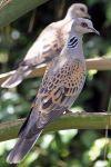 1200px-European_Turtle_Dove_(Streptopelia_turtur)